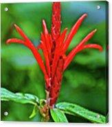 Red Tropical Flower In Huntington Botanical Gardens In San Marino-california  Acrylic Print