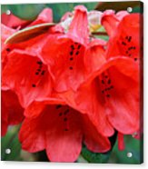 Red Trumpet Rhodies Acrylic Print