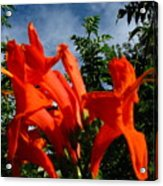 Red Trumpeter Acrylic Print