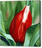 Red Tulip 2 Acrylic Print