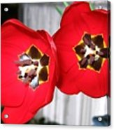 Red Tulip Duo Acrylic Print