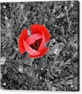 Red Tulip From Above Acrylic Print
