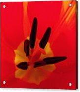 Red Tulip II Acrylic Print