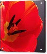 Red Tulip IIi Acrylic Print