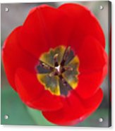 Red Tulip In 3d Acrylic Print