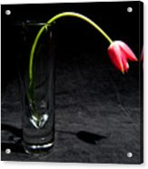 Red Tulip On Black Acrylic Print