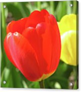 Red Tulip  Acrylic Print by Richard Mitchell