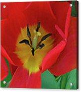 Red Tulip Trio Acrylic Print
