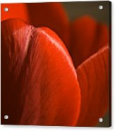 Red Tulip Up Close Acrylic Print