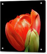 Red Tulip With Bud Acrylic Print