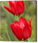 Red Tulips In A Meadow Closeup Sunny Spring Day Acrylic Print