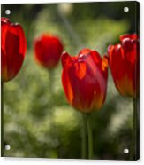 Red Tulips In Light Acrylic Print