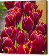 Red Tulips Acrylic Print