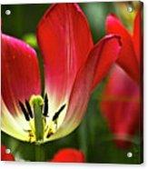 Red Tulips Petals Acrylic Print