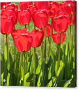 Red Tulips Square Acrylic Print