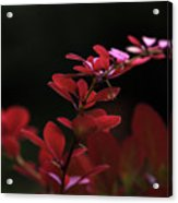 Red Twilight Acrylic Print