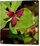 Red Upright Trillium Acrylic Print