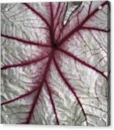 Red Veined Leaf Acrylic Print
