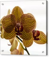 Red Veined Orchid Acrylic Print