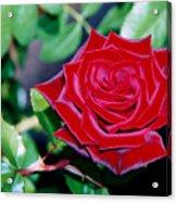 Red Velvet Rose Acrylic Print