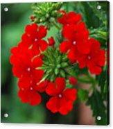 Red Verbana Acrylic Print