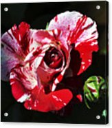 Red Verigated Rose Acrylic Print by Clayton Bruster