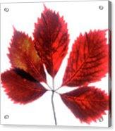 Red Vine Leaf Acrylic Print