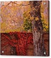 Red Vine With Maple Tree Acrylic Print