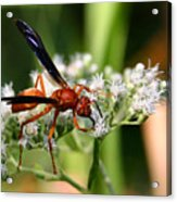 Red Wasp On Lace Acrylic Print