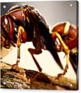 Red Wasp Acrylic Print by Ryan Kelly