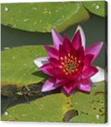 Red Water Lily Acrylic Print