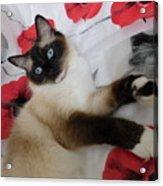 Red White And Ragdoll Kitty Cat Silktapestrykittenstm  Acrylic Print
