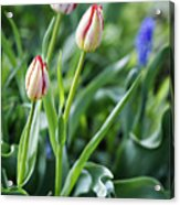 Red White Tulips Acrylic Print