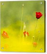 Red Wild Poppies Acrylic Print