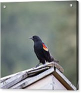 Male Red Wing Black Bird Acrylic Print