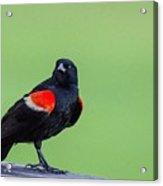 Red Wing Blackbird Acrylic Print