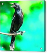 Red Wing Blackbird Perching And Singing Acrylic Print