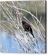 Red Winged Black Bird At Chatfield Acrylic Print