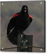 Red Winged Black Bird Acrylic Print