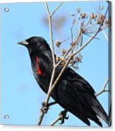 Red-winged Blackbird . 40d5718 Acrylic Print