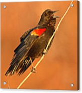 Red-winged Blackbird Belting Out Spring Song Acrylic Print