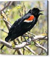 Red Winged Blackbird Acrylic Print