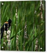Red-winged Blackbird Calling Acrylic Print