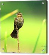 Red Winged Blackbird Female Acrylic Print