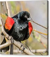 Red-winged Blackbird Foraging Acrylic Print