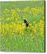 Red-winged Blackbird In Wild Mustard Acrylic Print