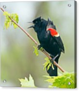 Red-winged Blackbird Acrylic Print