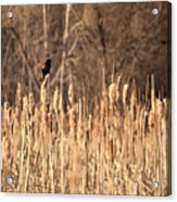 Red Winged Blackbird On Cattails Acrylic Print
