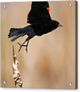 Red-winged Takeoff Acrylic Print