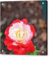 Red With Pink White Yellow Centered Rose Acrylic Print